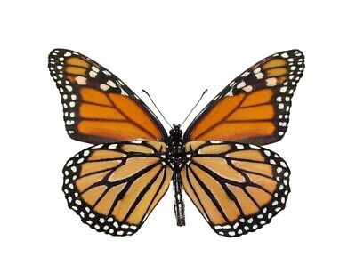 ONE NORTH AMERICAN MONARCH DANAUS PLEXIPUS BUTTERFLY VERSO WINGS CLOSED  (Monarch Butterfly Wings)