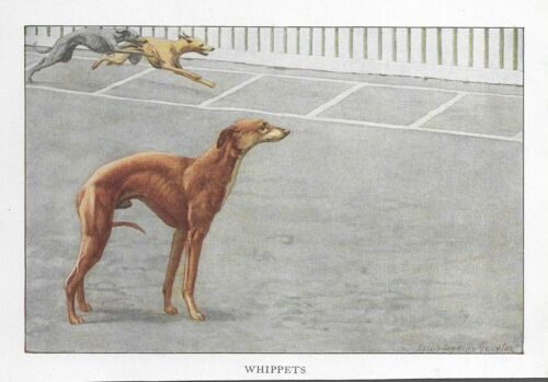 Whippet - 1927 Color Dog Art Print - Matted