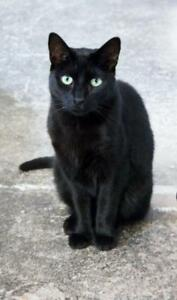 """Adult Male Cat - Domestic Short Hair: """"Benito"""""""