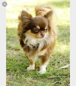 WANTED! Female long haired Chihuahua puppy Melbourne CBD Melbourne City Preview