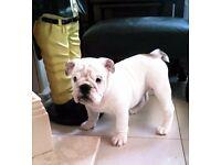 KC reg British Bulldog pup