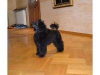 Beautiful Toy poodle female 5 months. Polish line.