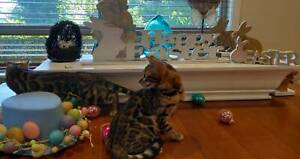 🐰🐣🐥Aziz Bengals has kittens ready to go Easter weekend