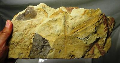 Fossil leaves on matrix - Lance Creek formation, Wyoming Cretaceous leaf plant