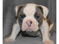 Beautiful Olde English Bulldog puppies *PRICE REDUCED*