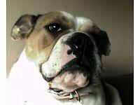 Kc registered British Bulldog adult female 21 months