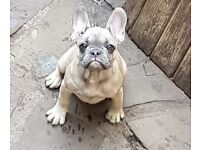 Quad carrier french bulldog puppies