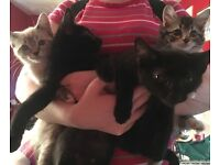 Kittens for sale mainecoon snowmink