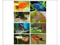 x20 Tropical Freshwater Fish (Pleco, Platies, Angelfish, Tetras, Sharks, Fighter, Guppies)