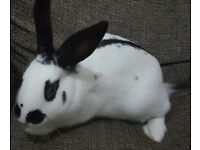Female English Breed Rabbit