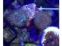 Hawaiian people eater zoas (live coral, marine fish tank)