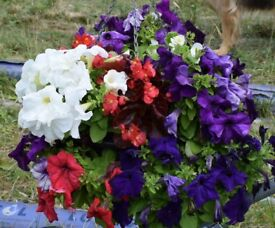 Canol Nurseries: Special offers on Hanging baskets, tubs and bedding, and perennials for next year
