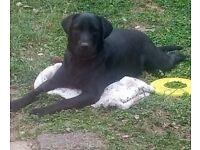 5th generation pedigree Labrador retriever male pup