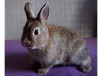 Pure Netherland dwarf Rabbit For Sale* Male