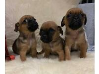 Beautiful jug puppys only 1 left