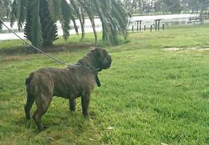aussie bulldog female Adelaide CBD Adelaide City Preview