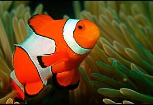 Clownfish and live rock