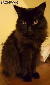 """Adult Female Cat - Domestic Long Hair (Black): """"Bronwyn"""""""