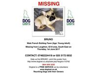 French bulldog lost/ stolen reward offered for safe return