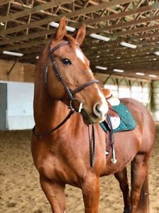 Registered Quarter Horse Gelding For Sale