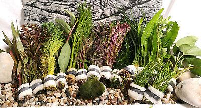 Aquariumpflanzen Set 15XXL Bunde, Aquarienpflanzen, Wasserpflanzen, Dicke Bunde (Fisch-aquarium Pflanzen)