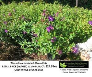 Tibouchina Jazzie 200mm Pots - Wonderful Colour