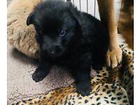 KC registered German shepherd puppies for sale