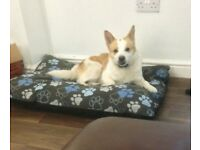 2 ywar old Husky cross Jack Russel