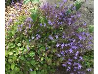 Campanula flower plants