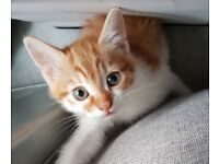 Ginger male kittens 8 weeks