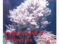 Large soft corals