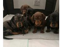 KC registered miniature smooth Dachshund pups *2 boys available*