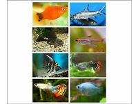 x20 Tropical Freshwater Fish (Pleco, Platies, Angelfish, Tetras, Sharks, Gouramis, Guppies)