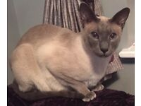 Missing since 25/09/17 much loved male lilac point Siamese