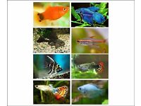 x20 Tropical Fish (Pleco, Platies, Angelfish, Tetras, Cory, Shark, Fighter, Gouramis, Guppies)