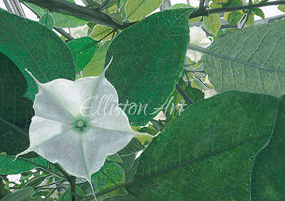 Watercolour Floral Painting London A3 Kew Gardens Flowers Datura