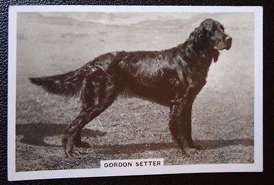 Gordon Setter   Original 1930's Vintage Photo Card  # CAT D