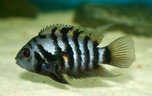 Convict  Cichlids from 5$ Noble Park Greater Dandenong Preview