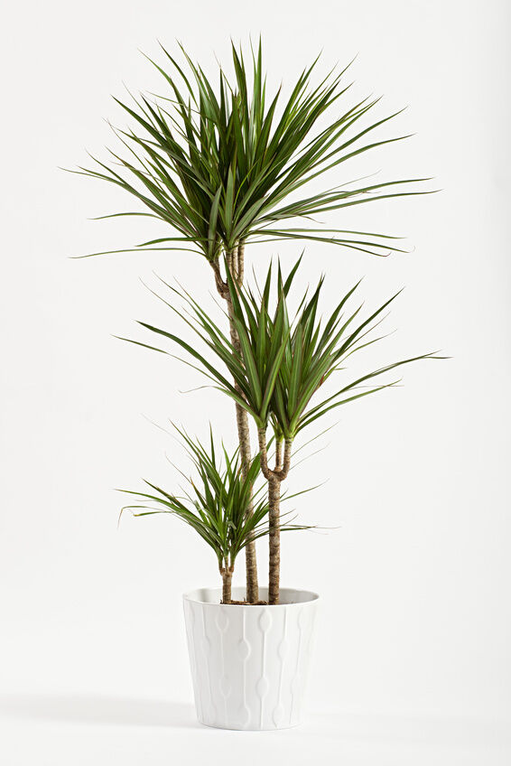 how to care for a yucca plant ebay. Black Bedroom Furniture Sets. Home Design Ideas