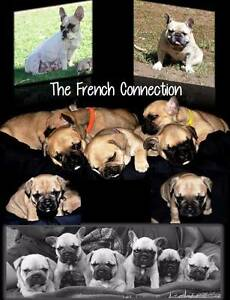 French Bulldog Babies Kunda Park Maroochydore Area Preview