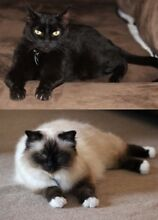 Adopt/foster a pair of 'senior' cats, Birman & Bombay Ivanhoe Banyule Area Preview