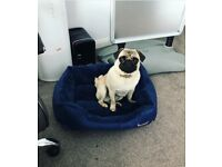 Very friendly pug dog 1 1/2 years old for sale. Chipped, wormed and has all his injections.