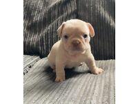 Quad French Bulldog Puppies