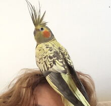 LOST Cockatiel Engadine Sutherland Area Preview