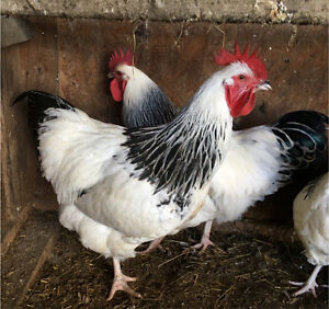 Roosters Pure Bred For Sale - beautiful looking Ballan Moorabool Area Preview