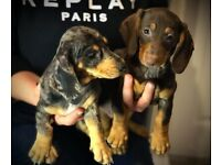 Dachshund Stunning harlequin,chocolate girls and boys Ready now😍