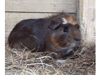 Guinea pig boars/sows