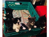 8 week old kittens black white grey litter trained