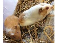 2 female and 2 male guinea pigs for sale