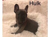 Frenchbulldog puppies MAGICMAN x HENRY VIII bloodlines